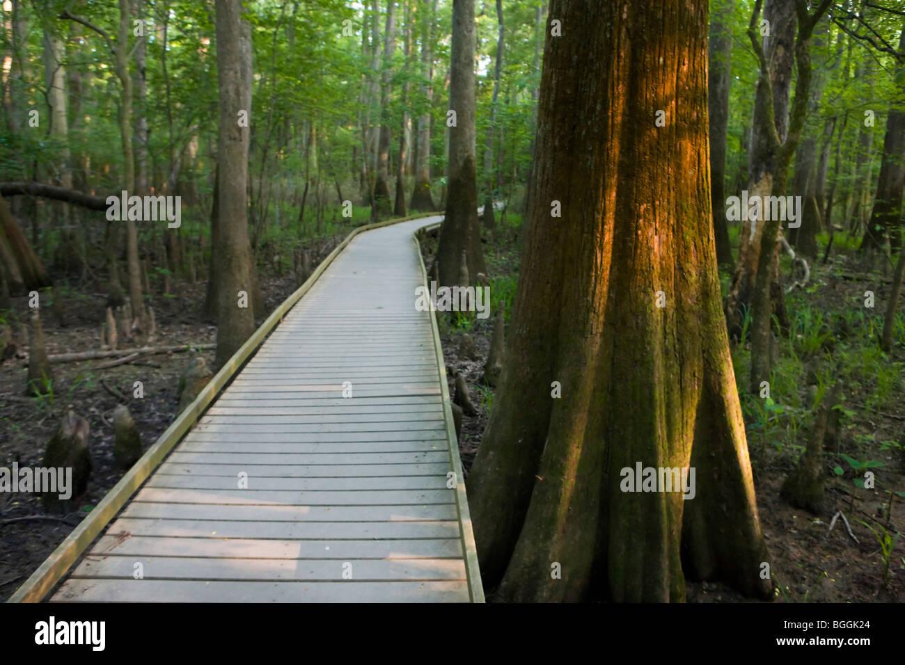 Boardwalk path next to illuminated tree in forest, Congaree National Park, near Columbia, South Carolina. - Stock Image