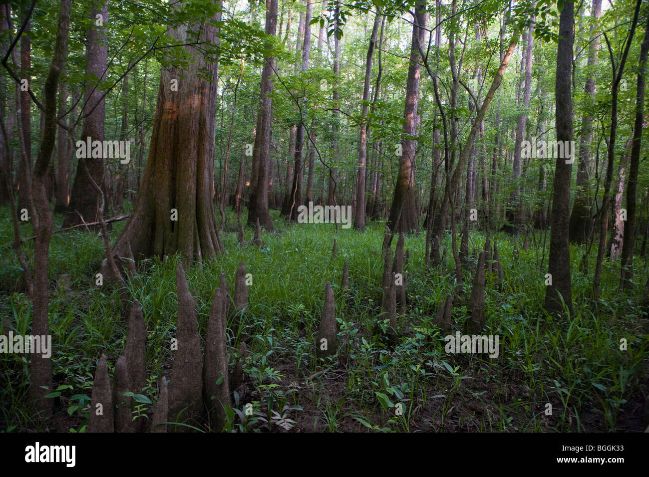 Trees and forest undergrowth, Congaree National Park, near Columbia, South Carolina. - Stock Image