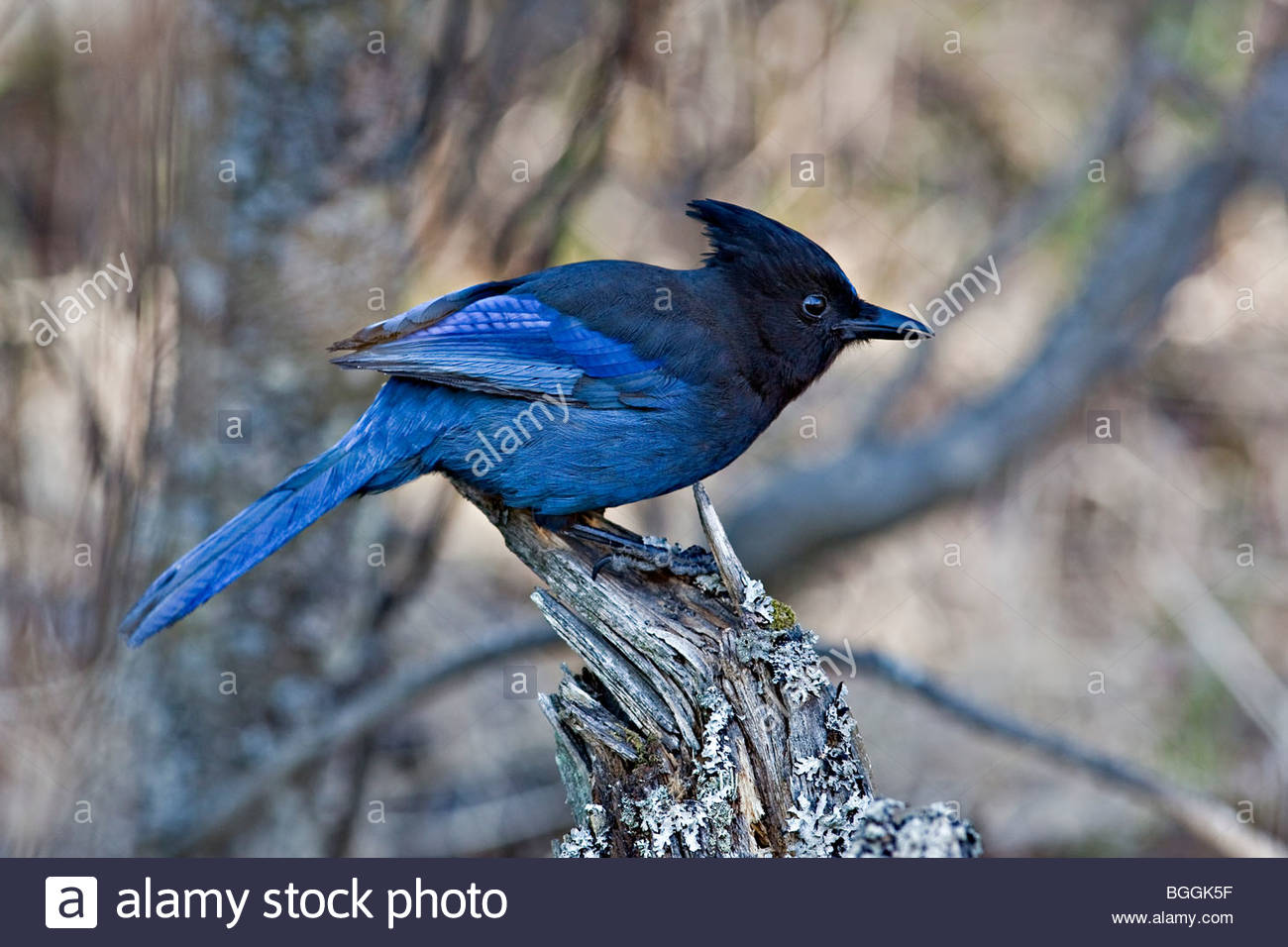 Single adult Steller's jay (Cyanocitta stelleri) in common habitat of alder and birch woodland. - Stock Image
