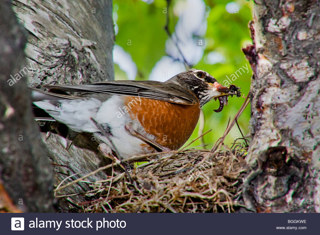 Adult male robin ( Turdus migratorius) in breeding plumage arrives at the edge of a nest of new hatchlings with - Stock Image