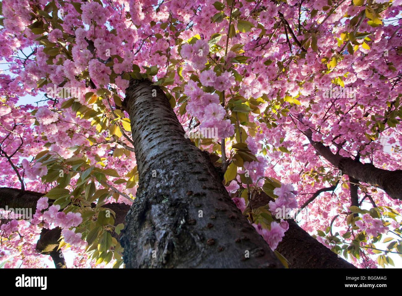 Japanese Cherry (Prunus serrulata) in Mirabell Gardens, Salzburg, Austria, worm's-eye view - Stock Image