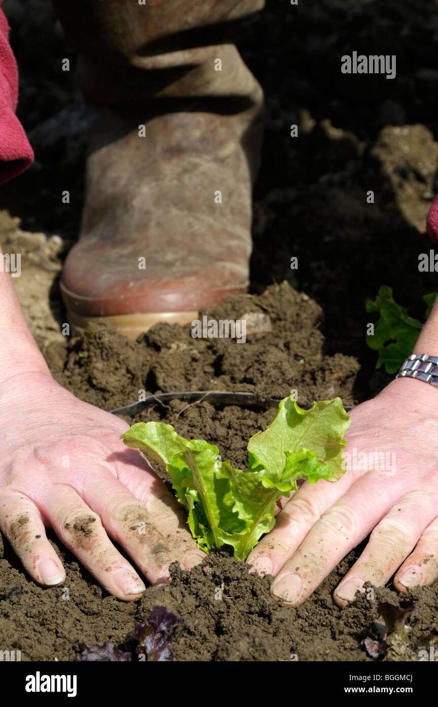 Stock photo of a woman gardener planting lettuce plants in the vegetable plot. - Stock Image