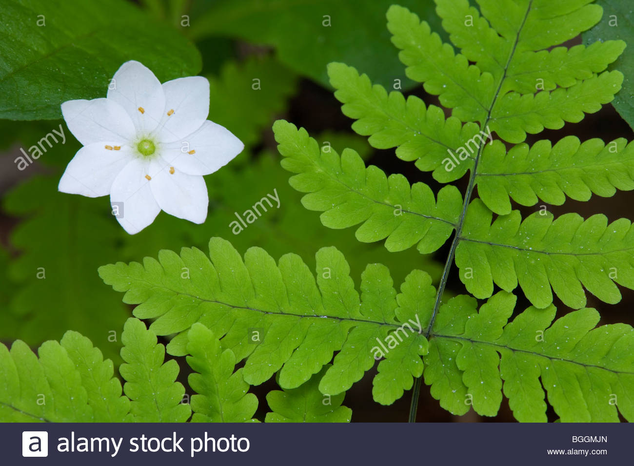 Alaska, Wasilla Macro photograph of Star Flower (Trientalis europea ssp arctica) and fern on forest floor. - Stock Image