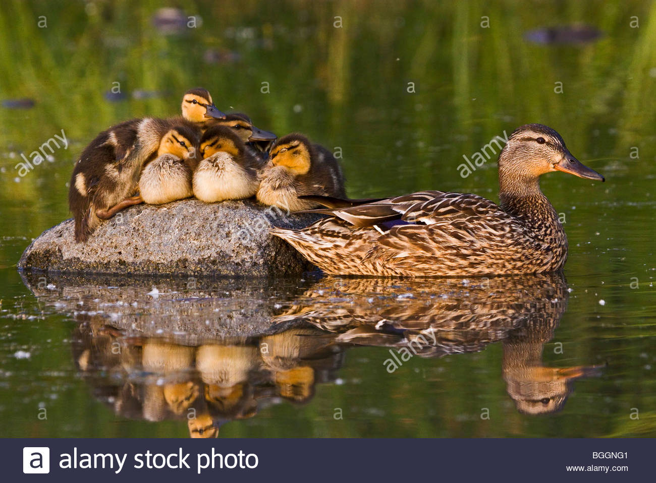Alaska. Mallard hen (Anas platyrhynchos) and ducklings resting on a rock in Cheney lake, Anchorage. - Stock Image