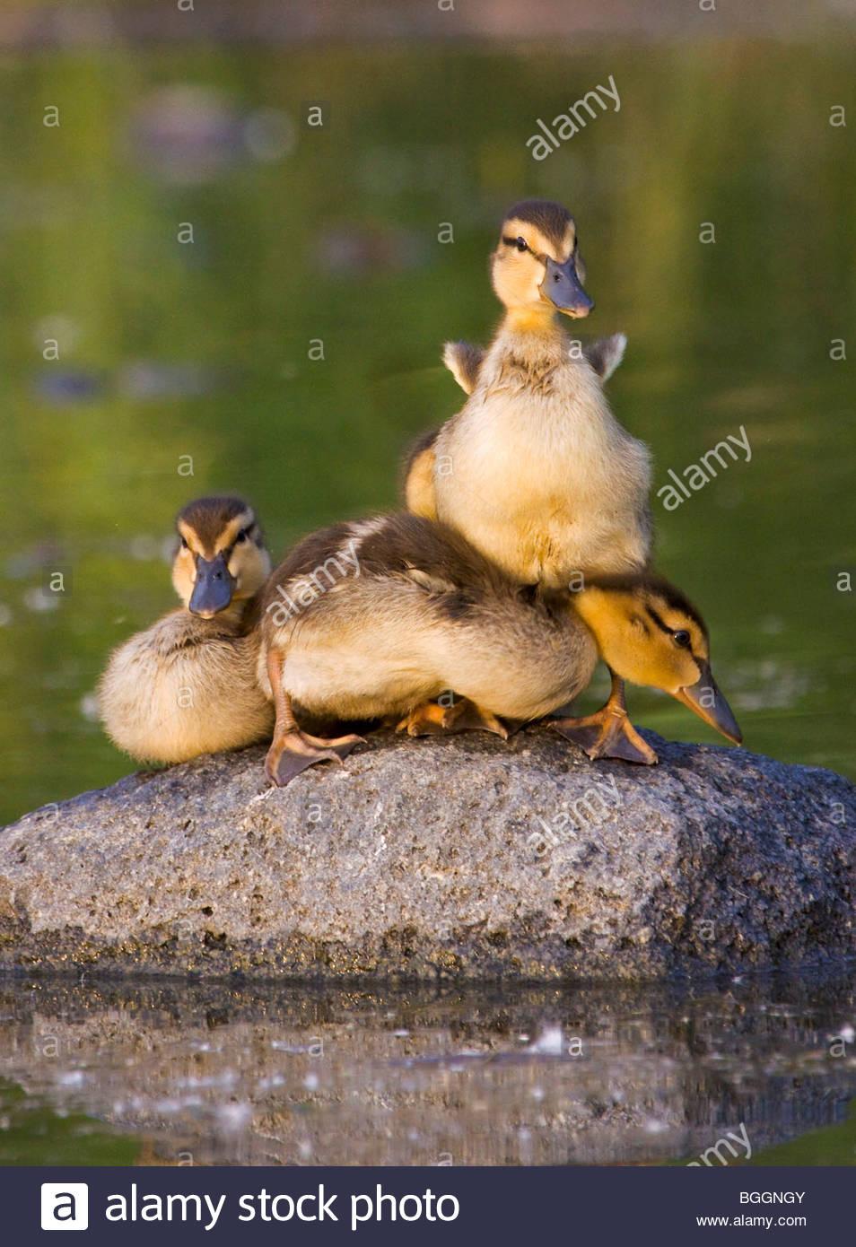 Alaska. Mallard (Anas platyrhynchos) ducklings resting on a rock in Cheney lake, Anchorage. - Stock Image
