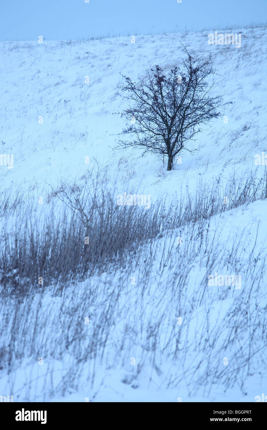 sallow thorn (Hippophae rhamnoides) in a winter landscape at dusk, Germany - Stock Image