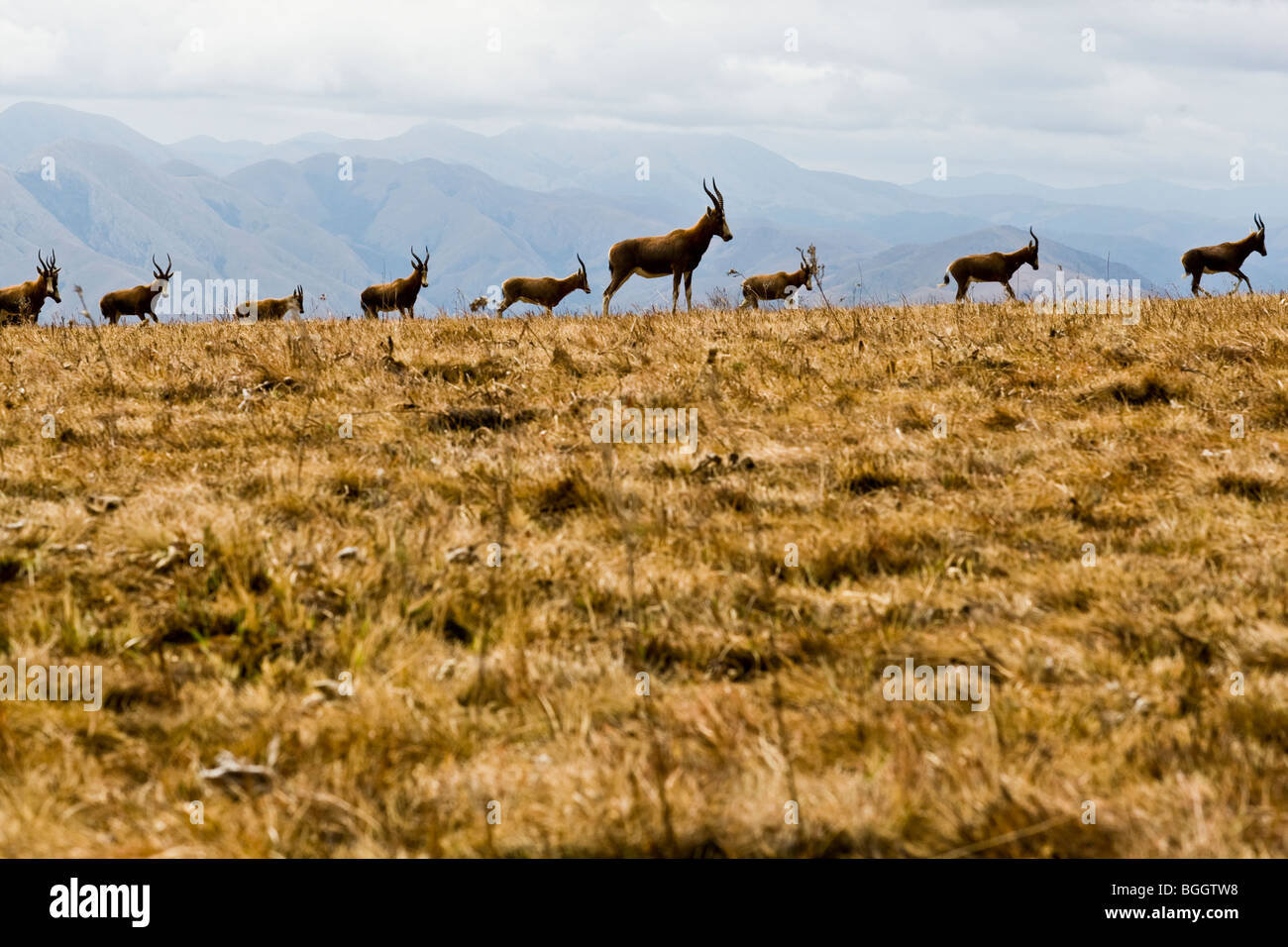 Blesbok herd in the mountains of Swaziland Stock Photo
