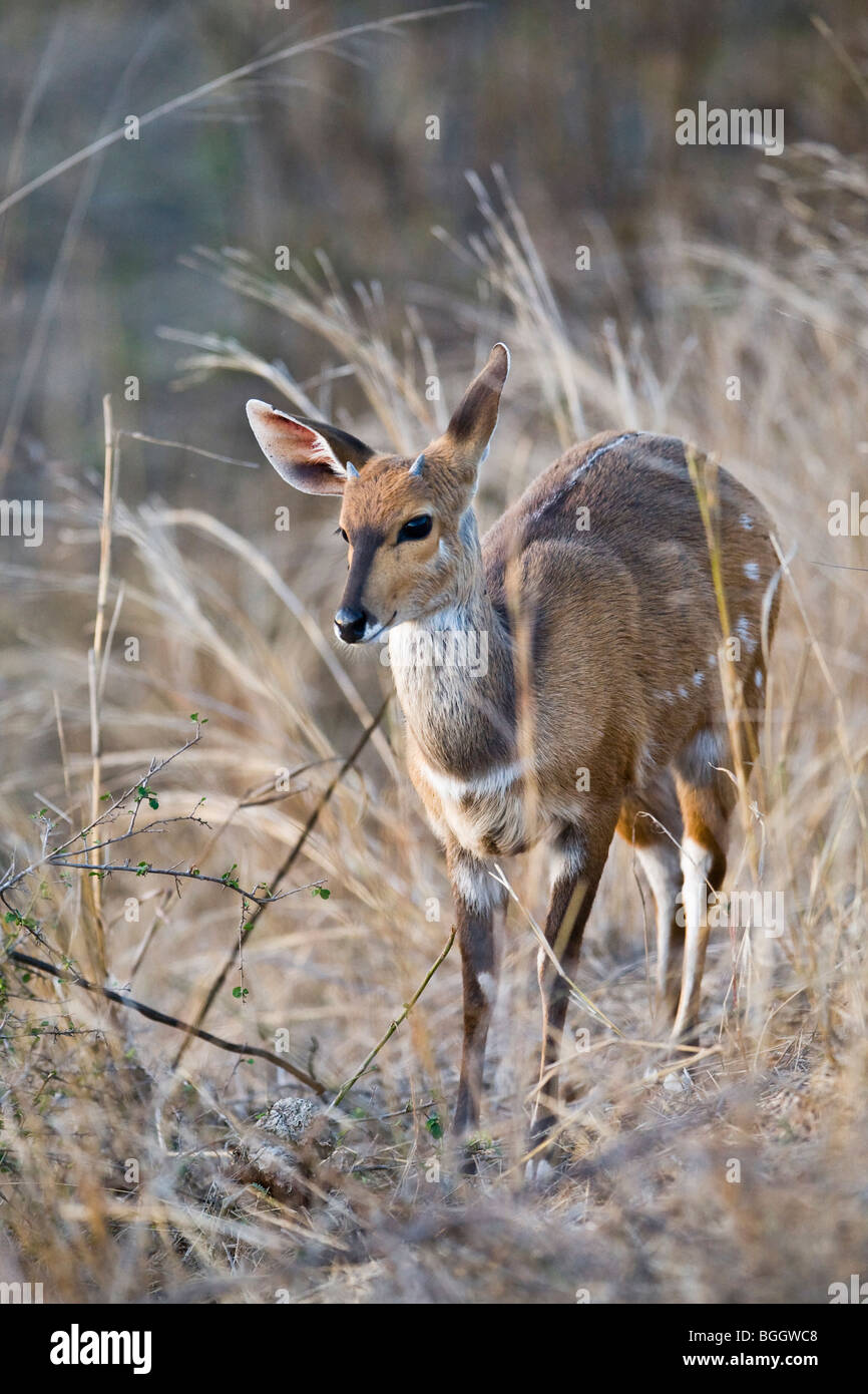 Female bushbuck Stock Photo