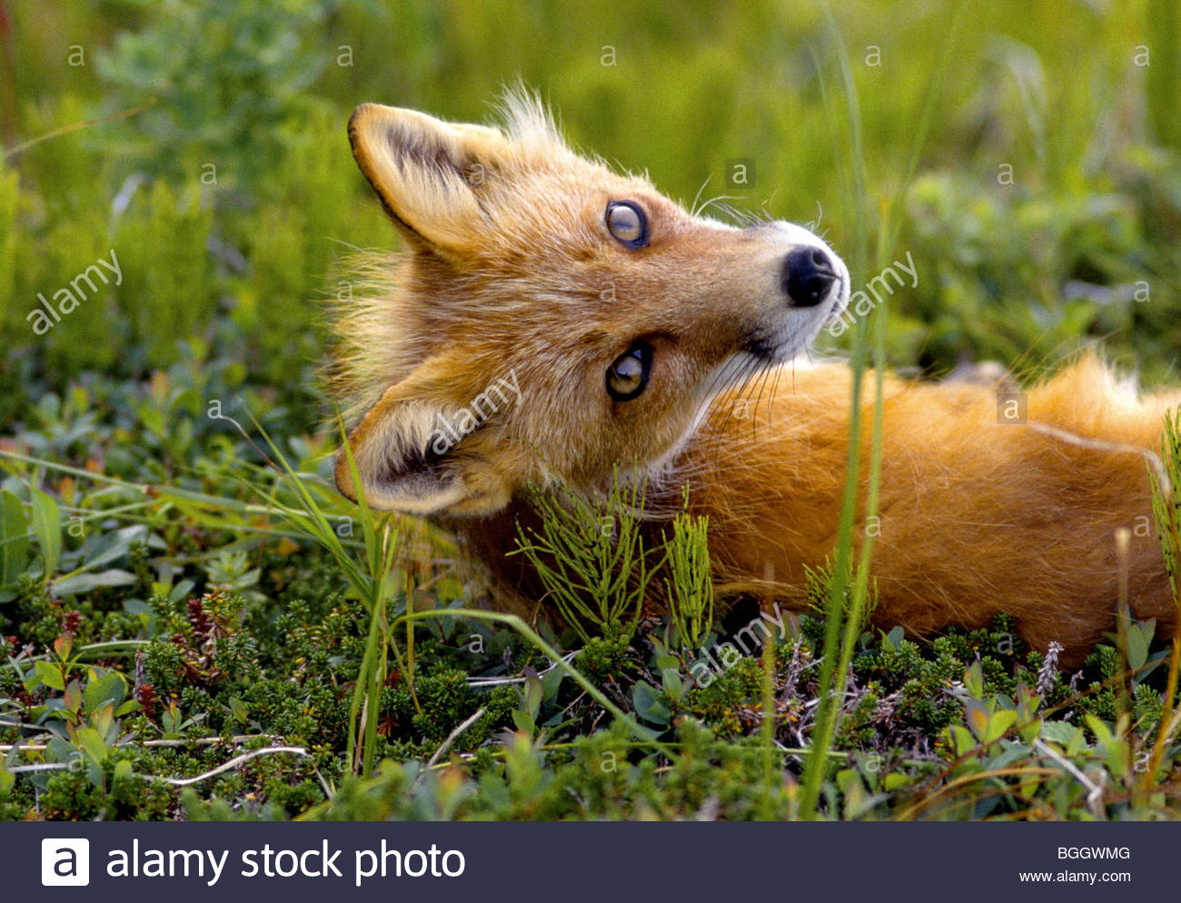 Alaska. Red Fox turns to gaze at curious photographer from its grassy knoll in the Aleutian Islands. - Stock Image