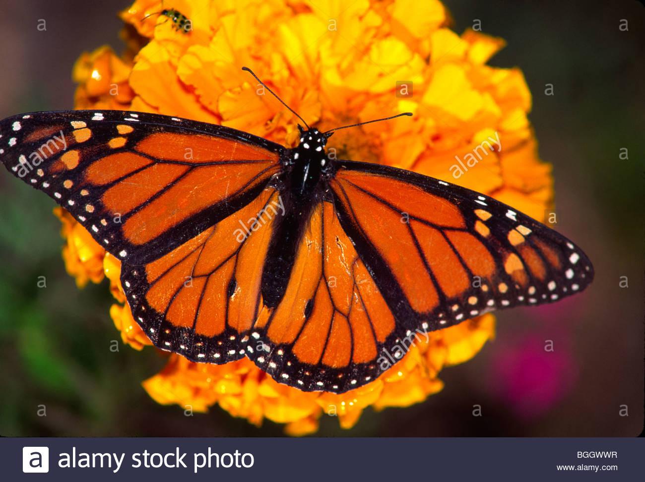 7e21639c5 Alaska. Monarch Butterfly on a marigold flower Stock Photo: 27416419 ...