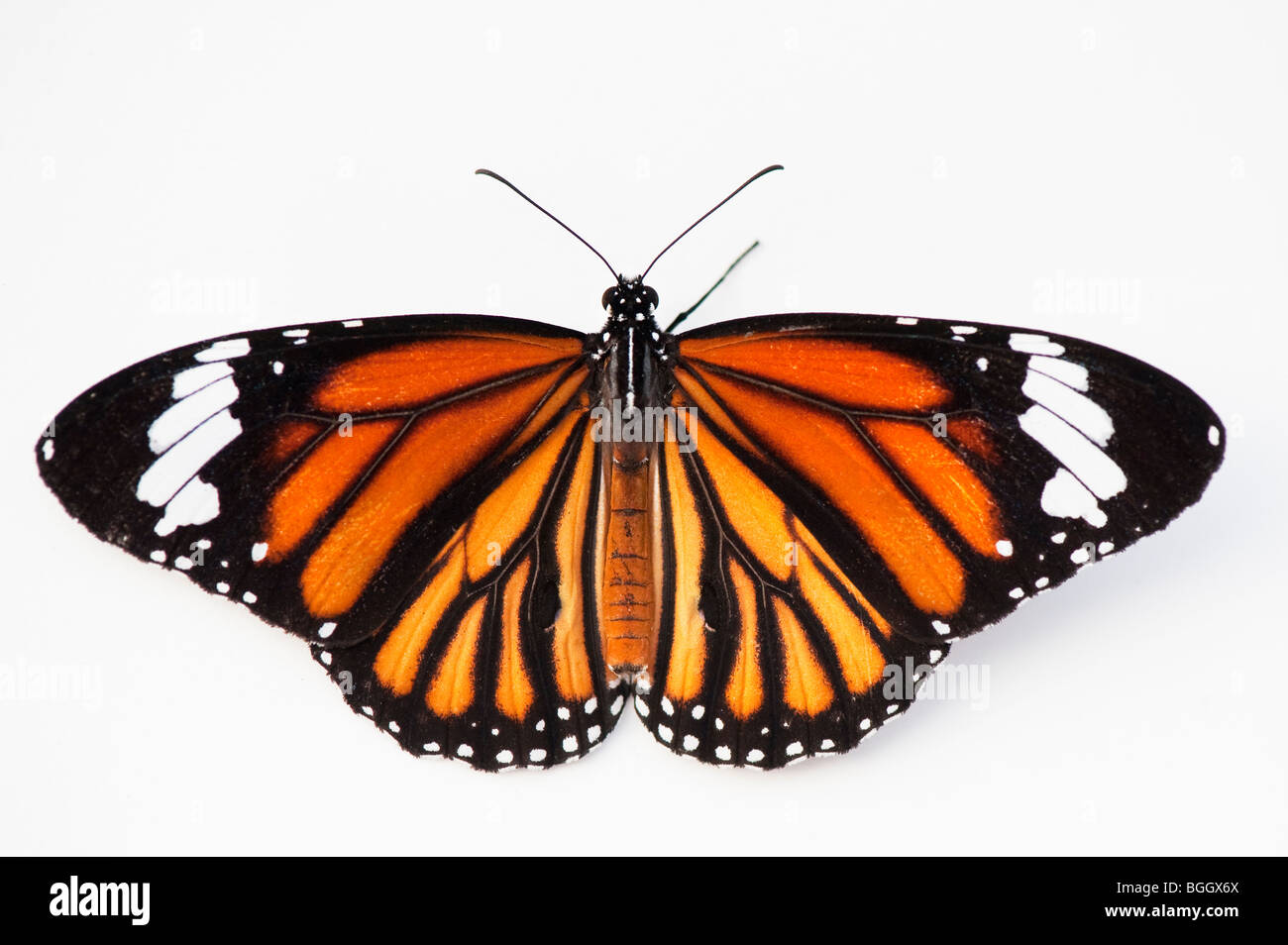 Danaus genutia. Striped tiger butterfly / Common tiger butterfly on a white background. India - Stock Image
