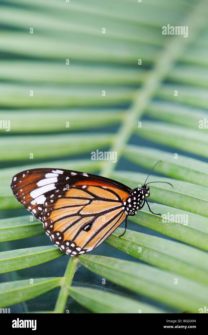 Danaus genutia. Striped tiger butterfly / Common tiger butterfly resting on a palm leaf in the indian countryside. - Stock Image