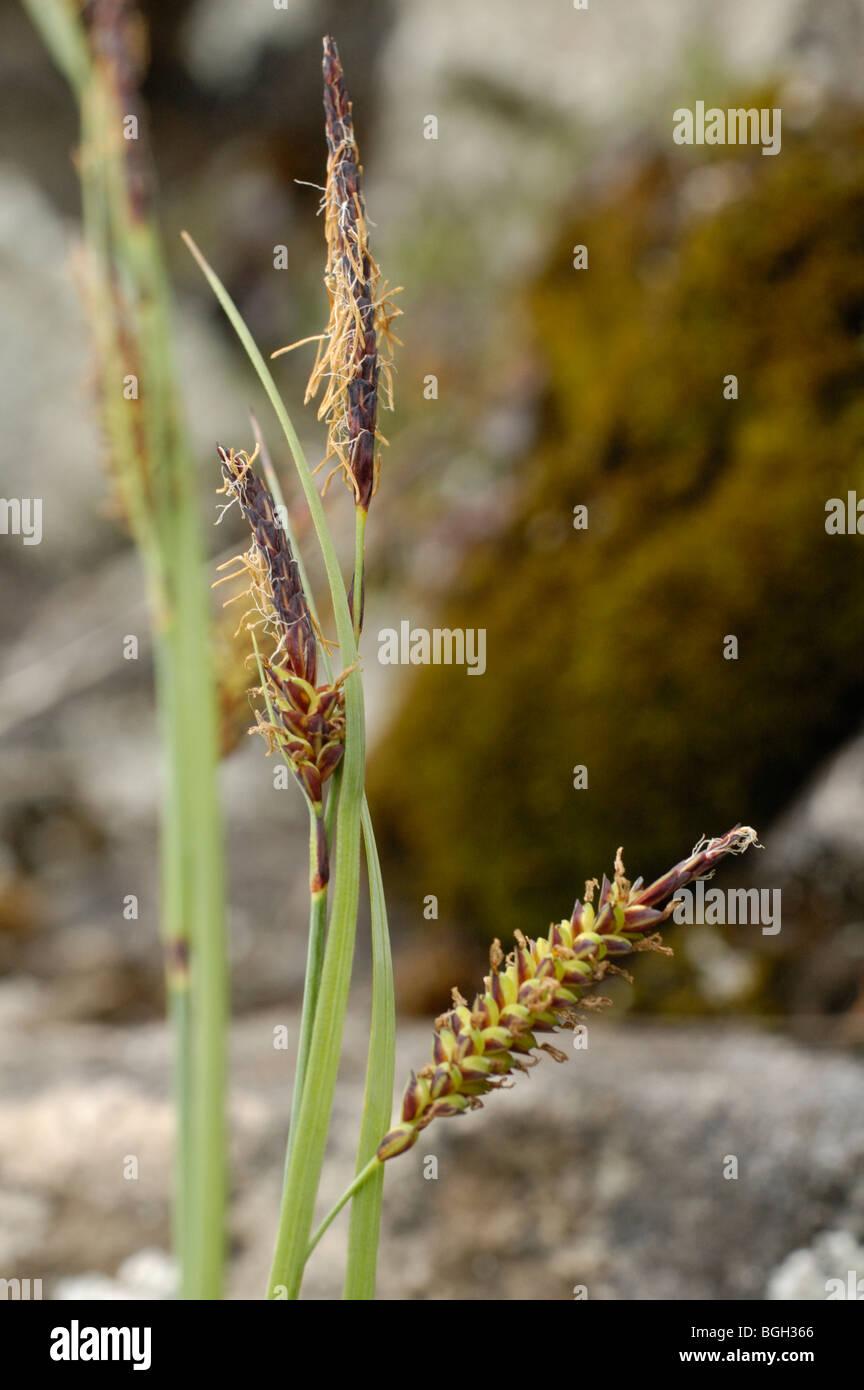 Glaucous Sedge, carex flacca - Stock Image