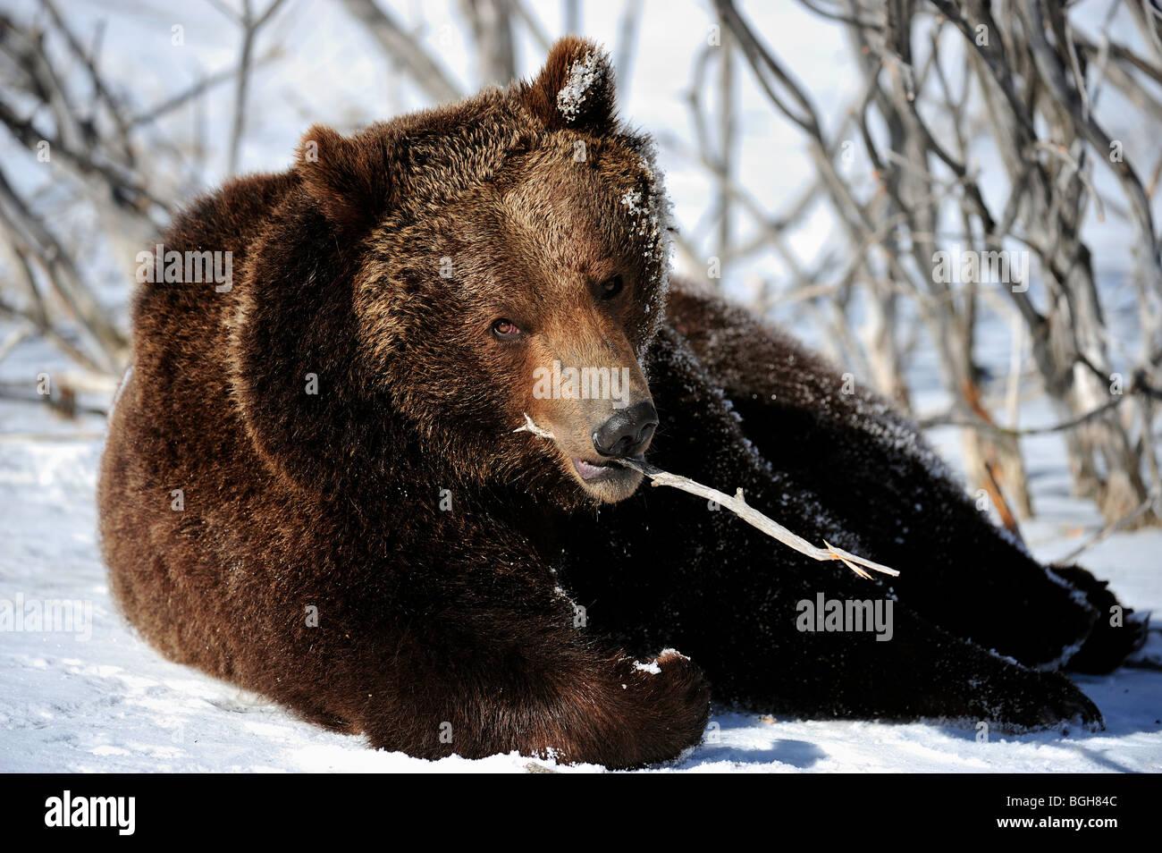 Grizzly bear (Ursus arctos) - captive in winter habitat, Bozeman, Montana, USA - Stock Image