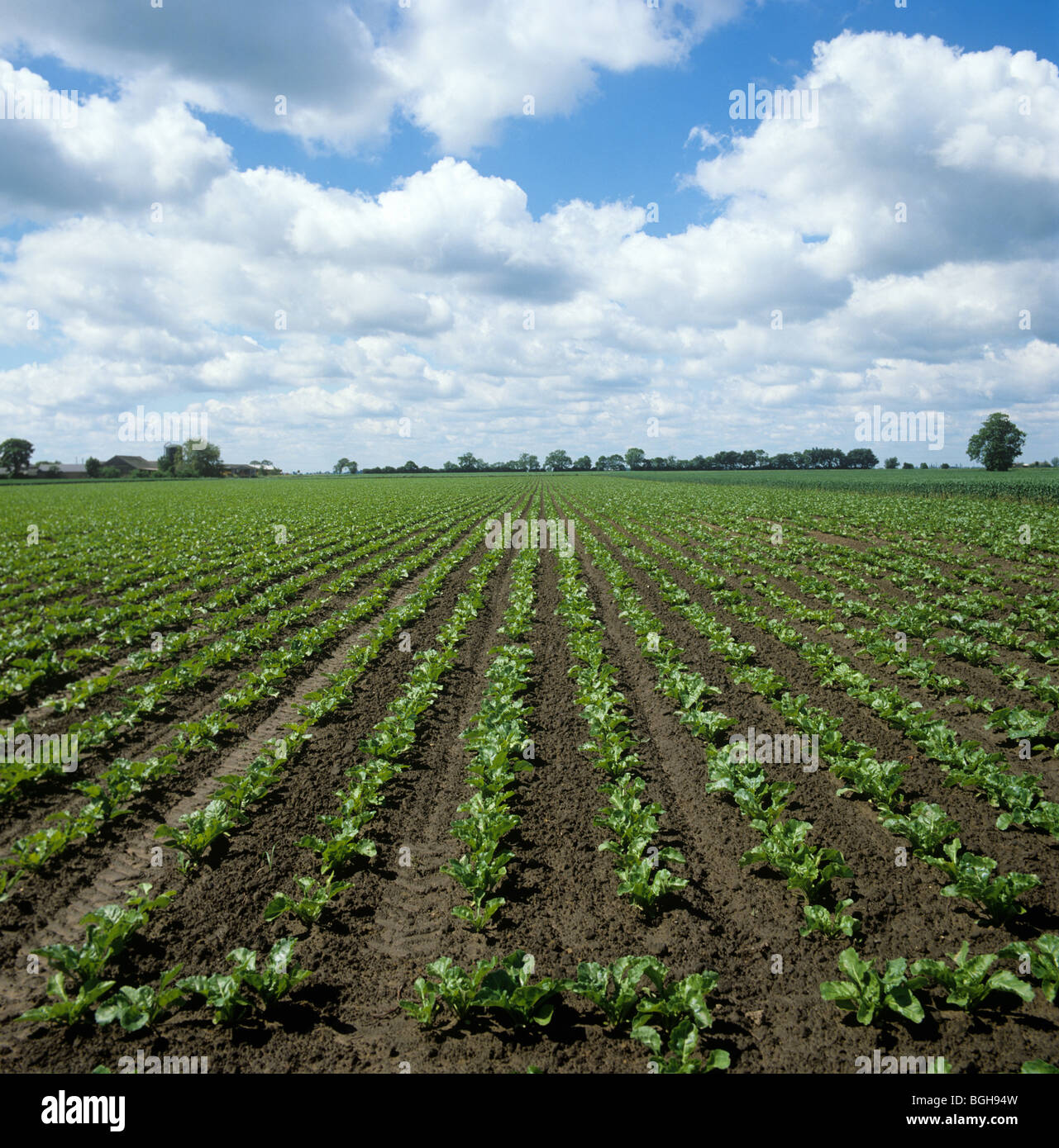 Young sugar beet crop on large level field on a fine summer day - Stock Image