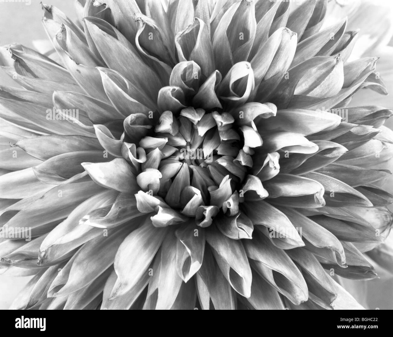 Dahlia flower black and white stock photos images alamy washington dahlia flower in full bloom stock image izmirmasajfo