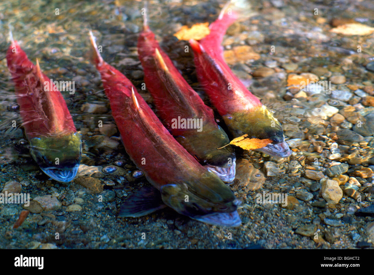 Spawning Sockeye Salmon (Oncorhynchus nerka) Run, Fish swimming Upstream, return to spawn, Adams River, British Stock Photo