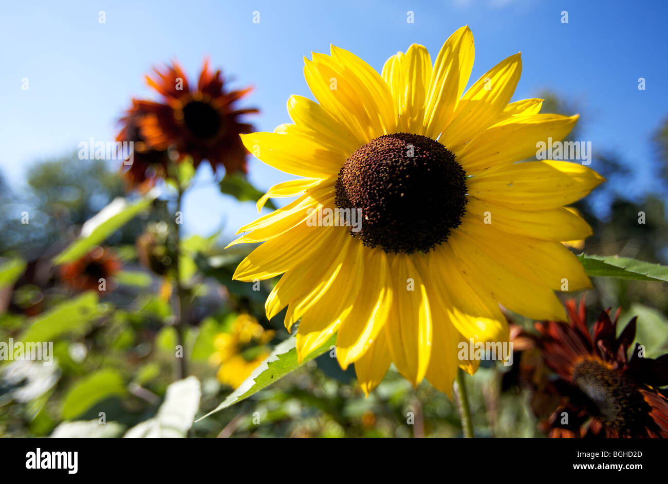 Sun Flowers in full bloom in a central Wisconsin garden. - Stock Image