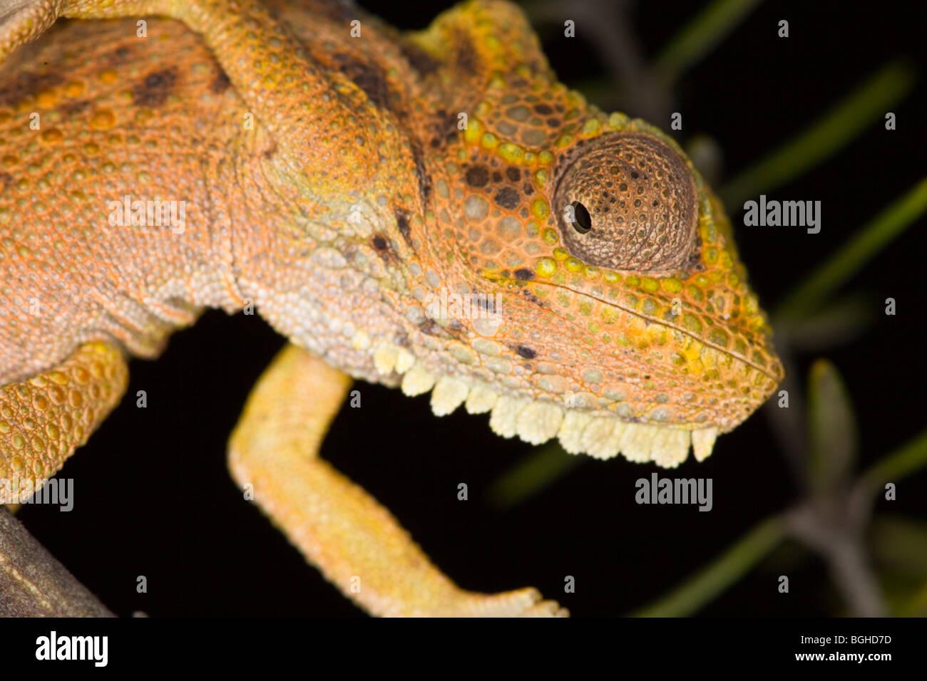 Transvaal dwarf chameleon - Stock Image