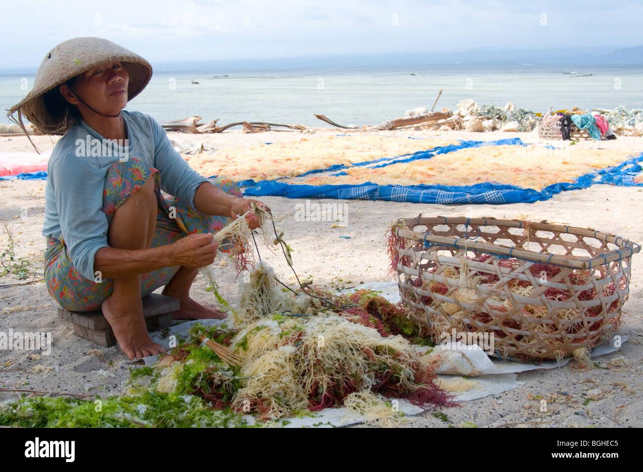 Woman sorting seaweed harvest, Nusa Lembongan, Bali, Indonesia - Stock Image