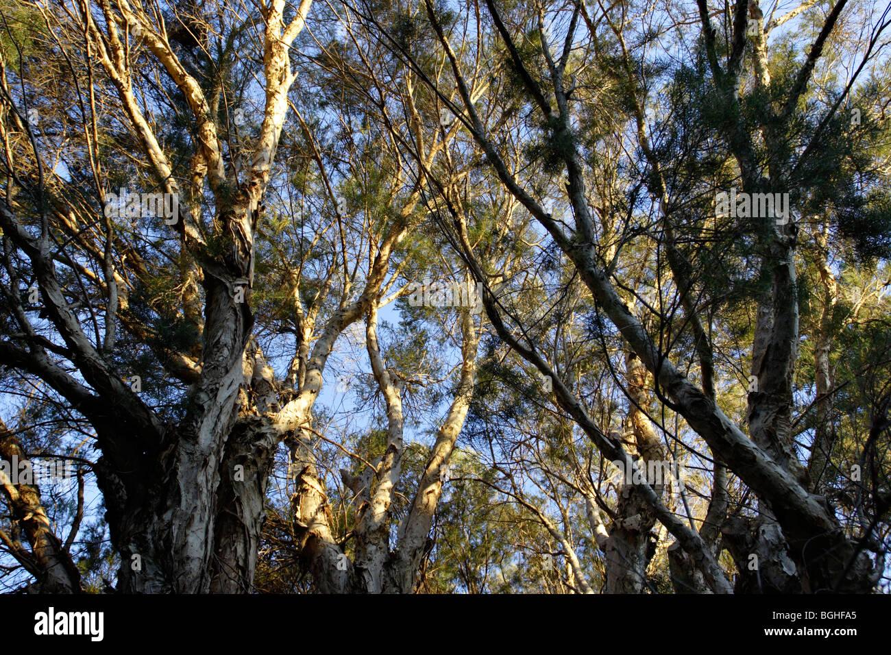 Live Christmas Trees Perth