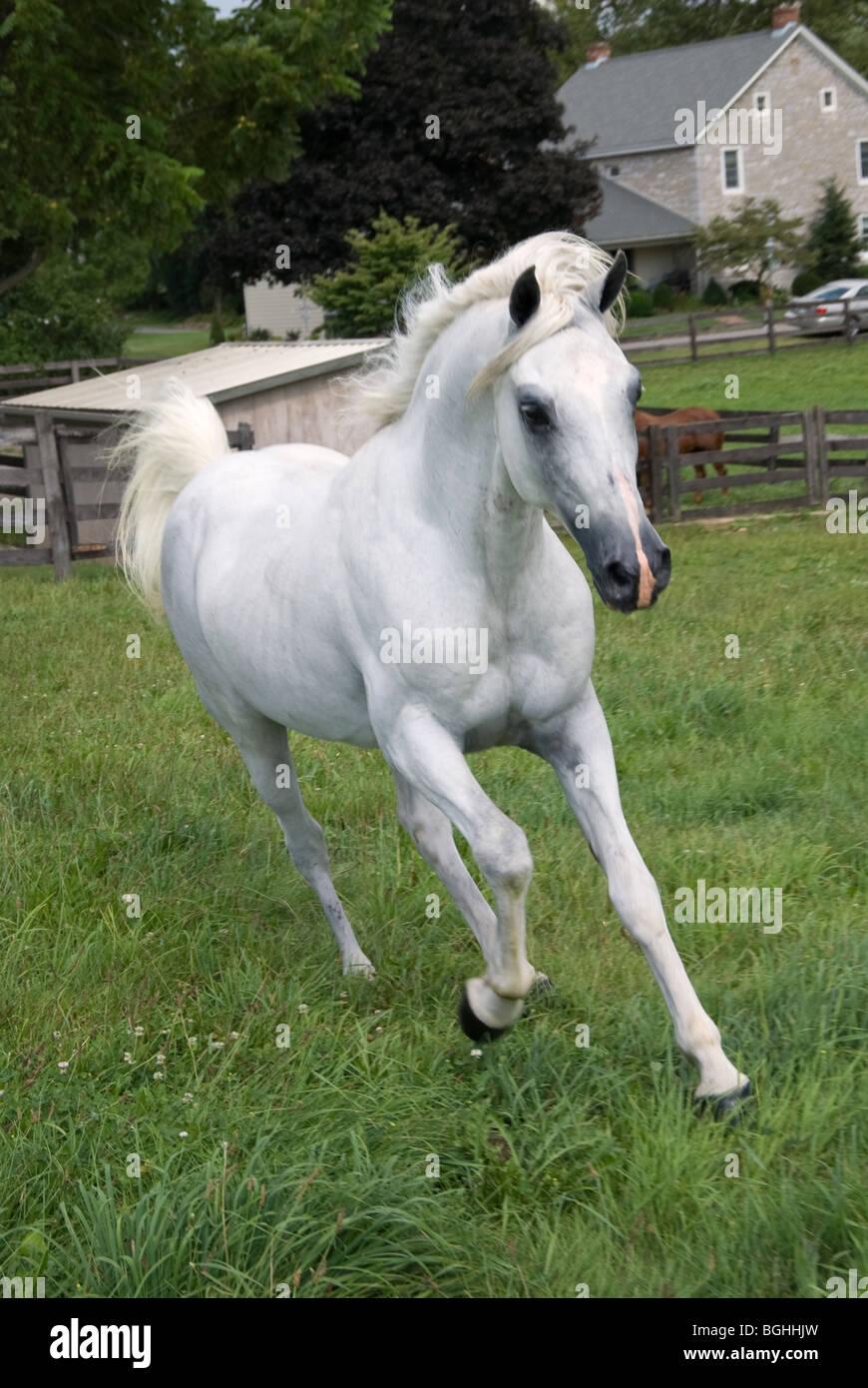 White Arabian Horse Stock Photos & White Arabian Horse ...