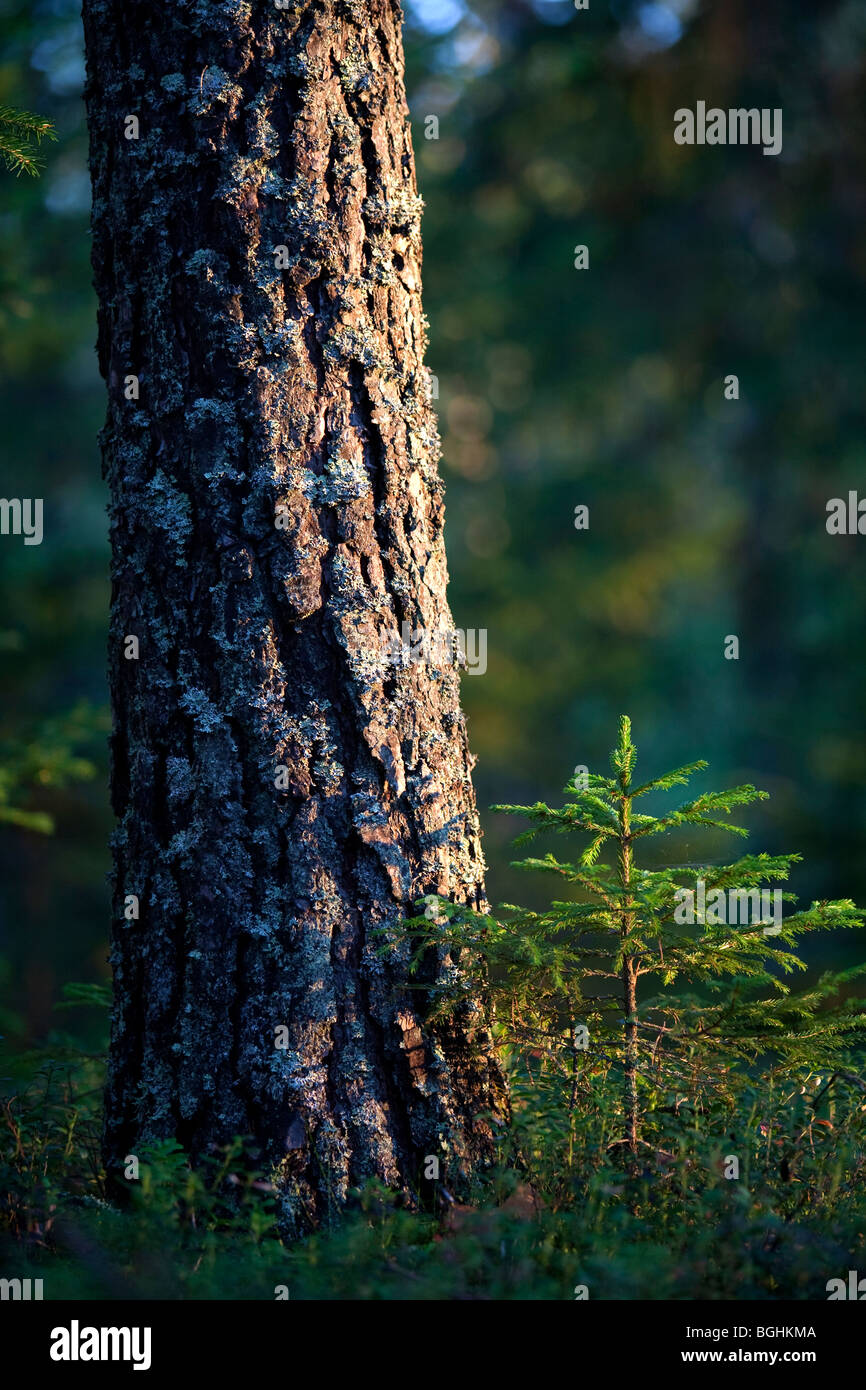 Fully grown pine ( Pinus sylvestris ) tree and a small sapling besides it - Stock Image