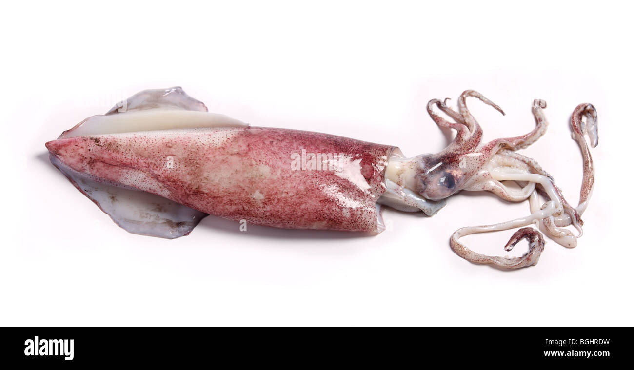 View of a squid, awaiting preparation in the kitchen. - Stock Image