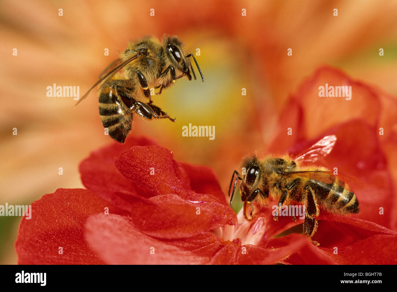 Carniolan Honey Bee (Apis mellifera carnica), two workers on a Begonia. - Stock Image