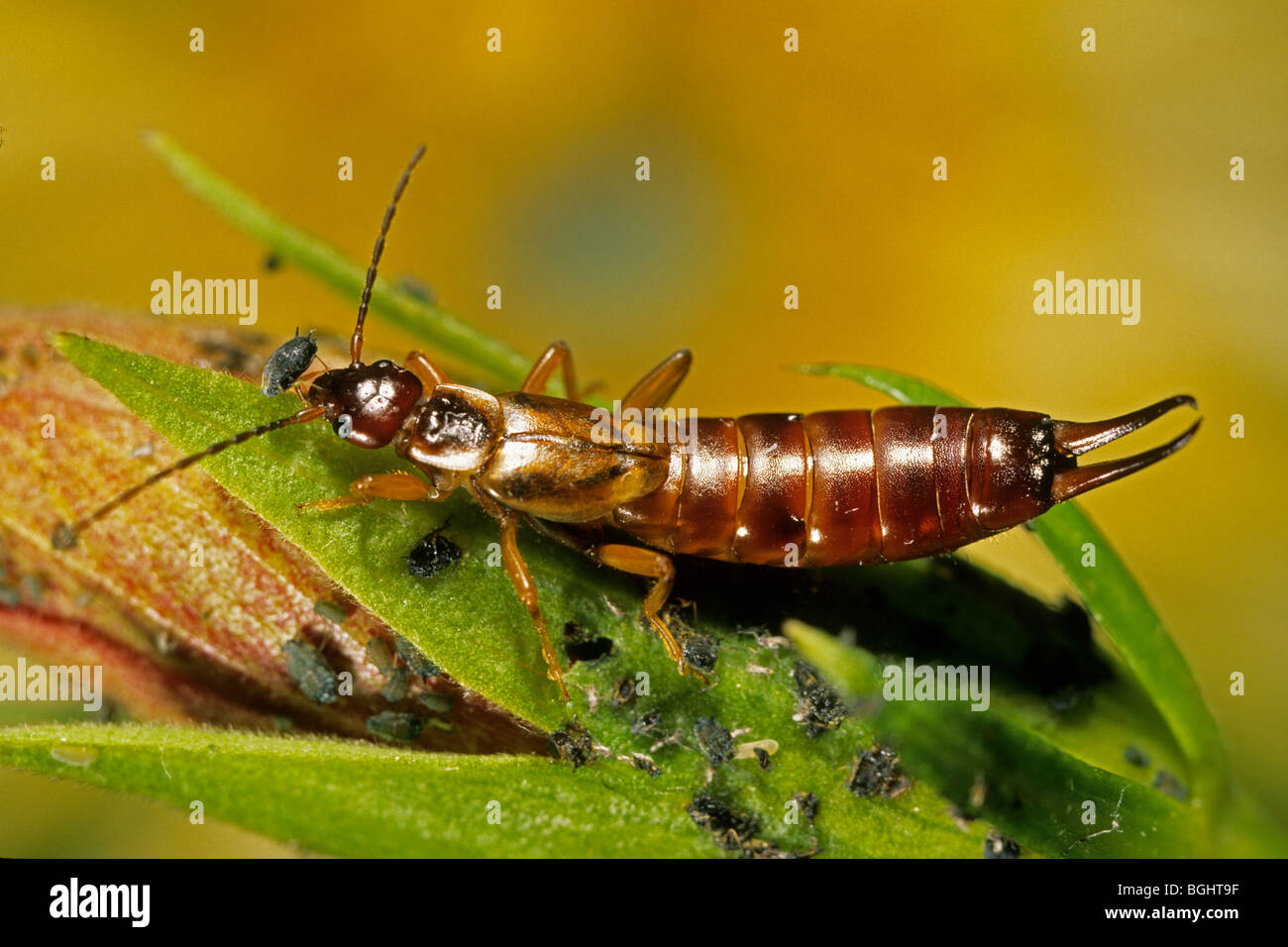 Common Earwig (Forficula auricularia), female eating aphid. - Stock Image