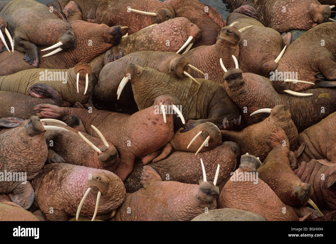 Male walruses basking on Round Island, Walrus Islands State Game Sanctuary, Alaska, USA - Stock Image