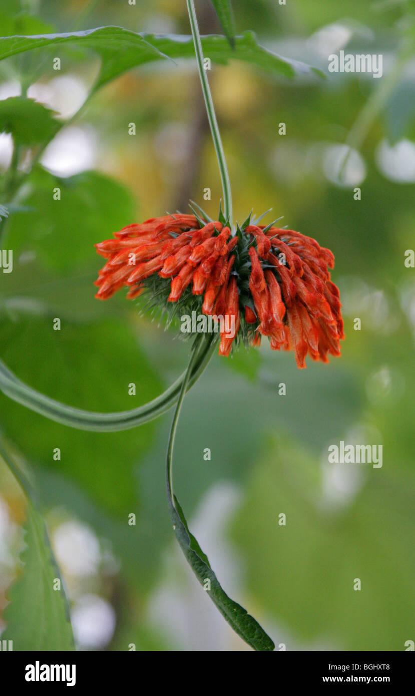 Dombeya, Dombeya burgessiae, Malvaceae (Sterculiaceae), Central South Africa Stock Photo