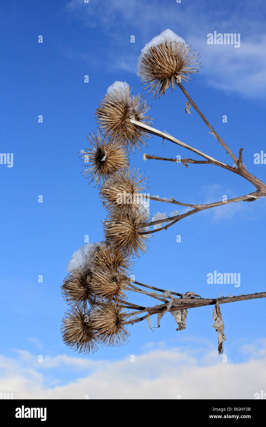 Close up of seed heads and snow. Surrey, England, UK. Stock Photo