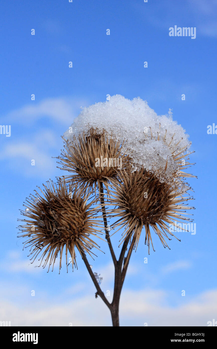 Close up of seed heads and snow. Surrey, England, UK. - Stock Image