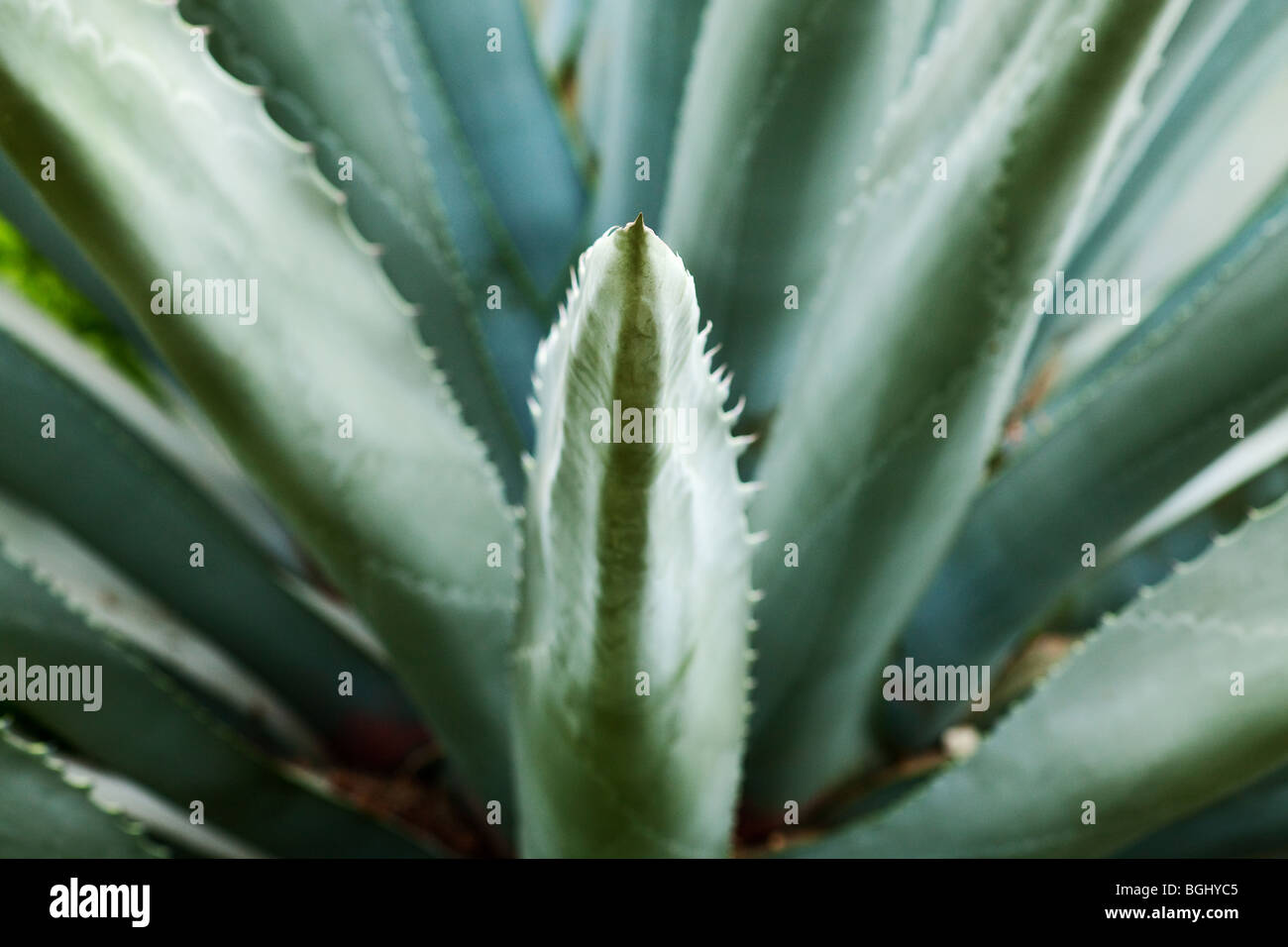 green succulent background with selective focus - Stock Image