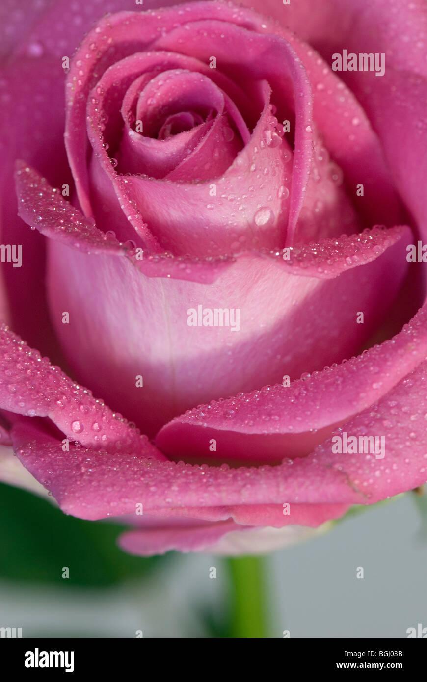 Fleur Rose Pale Stock Photos Fleur Rose Pale Stock Images Alamy