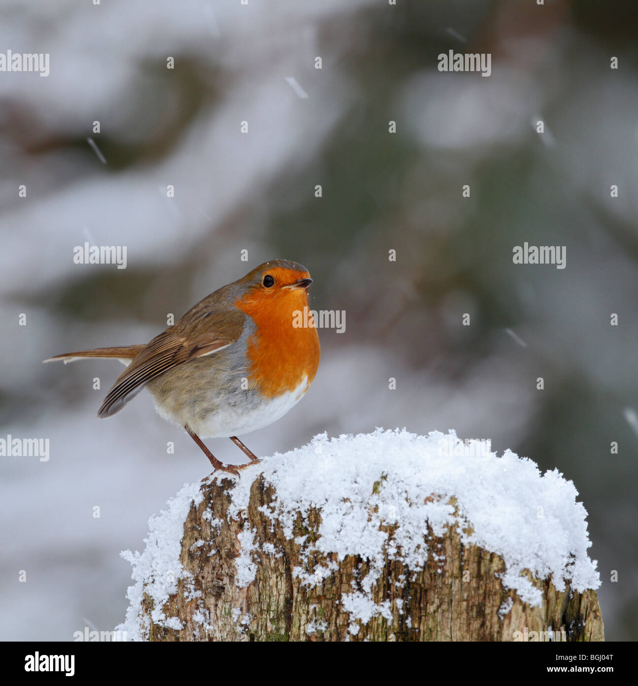 Robin Erithacus rubecula in snow christmas card - Stock Image