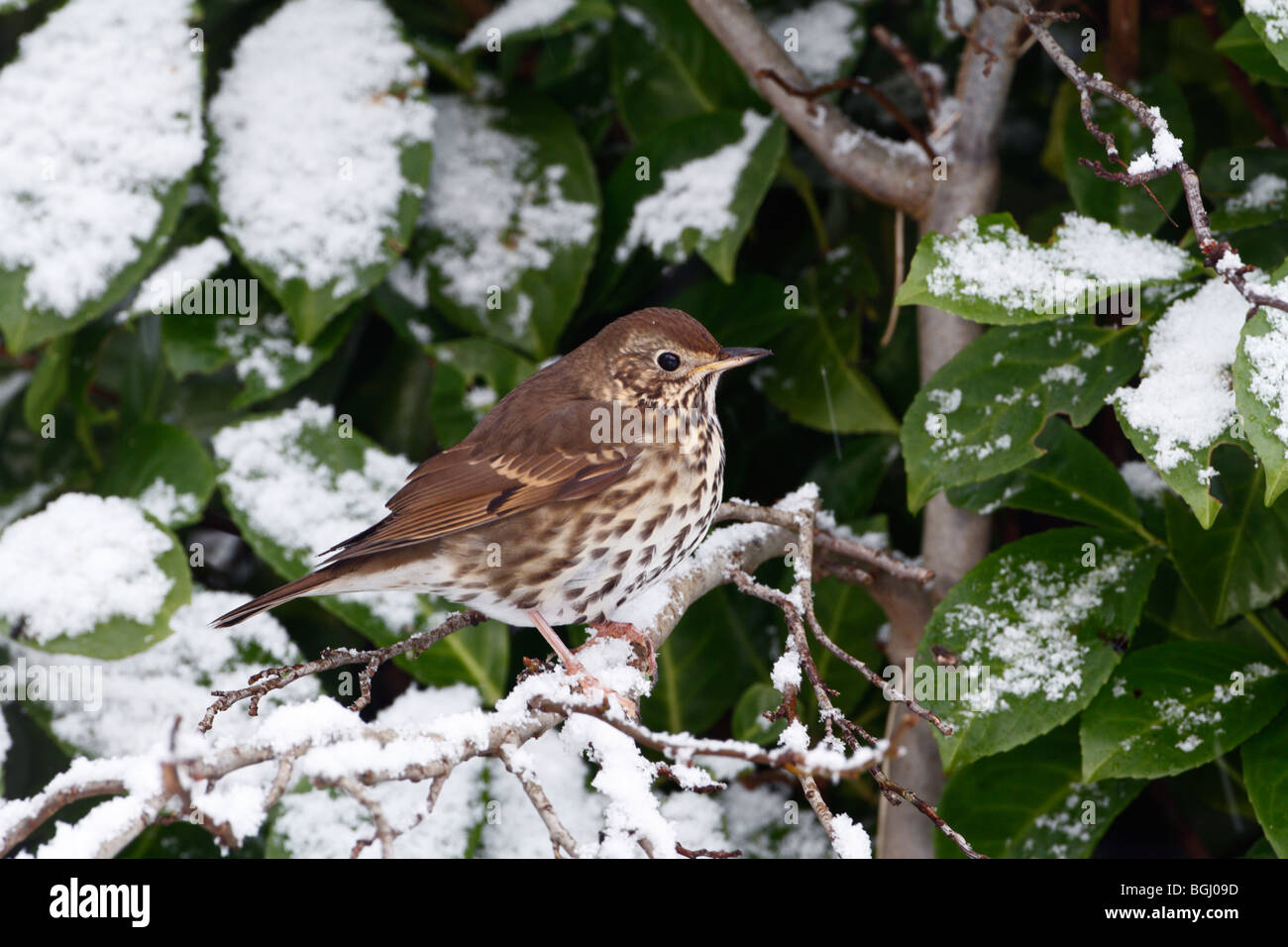 Song Thrush Turdus philomelos in snow'y bush - Stock Image