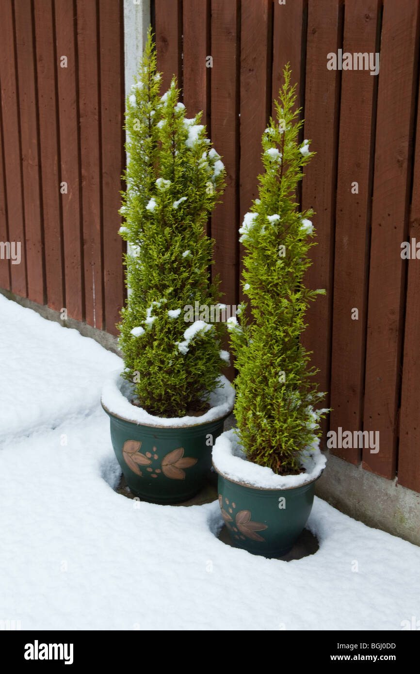 Bonsai conifer trees covered in snow, Sheffield, England. - Stock Image