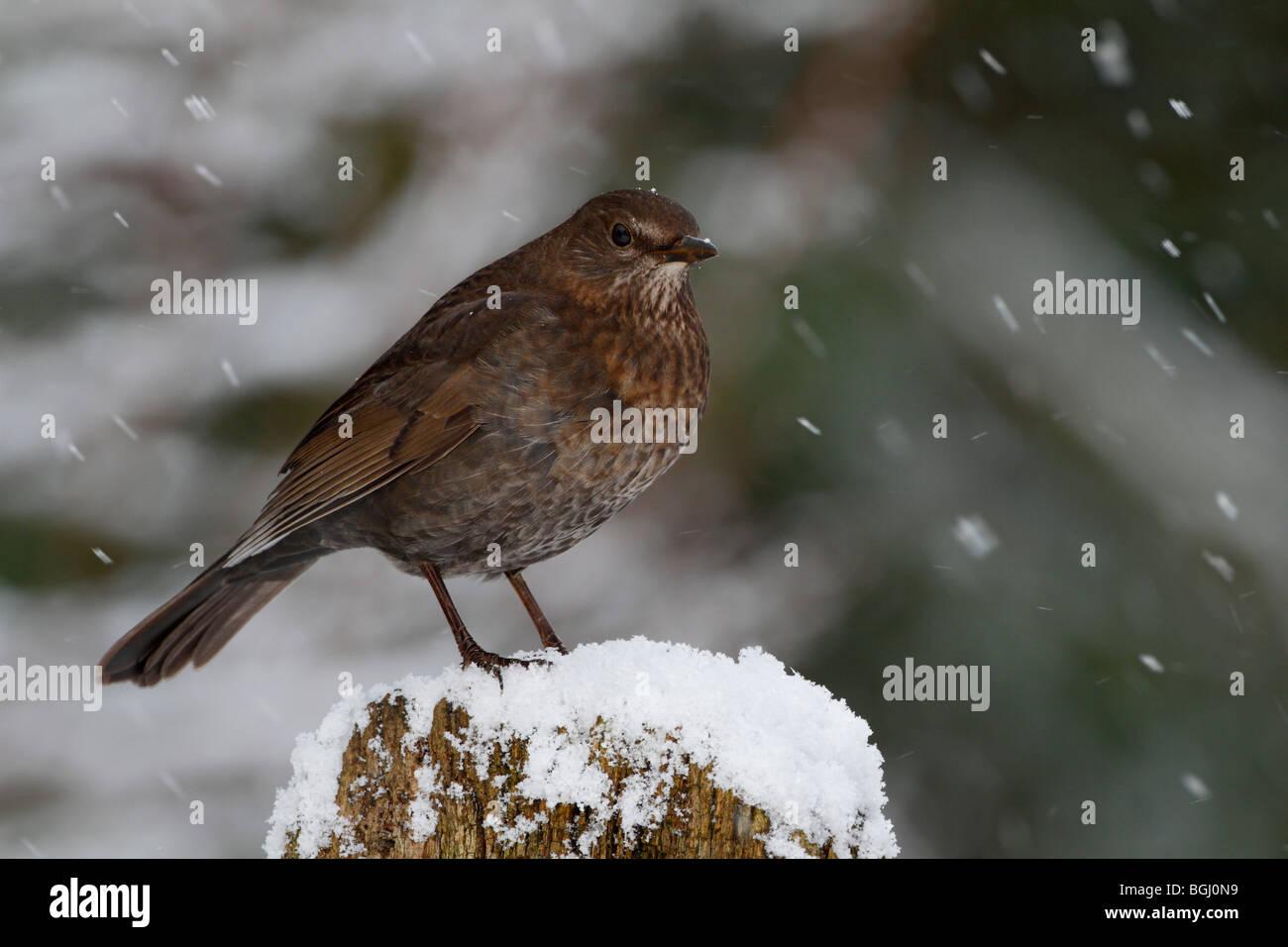Blackbird Turdus merula in snow fall - Stock Image