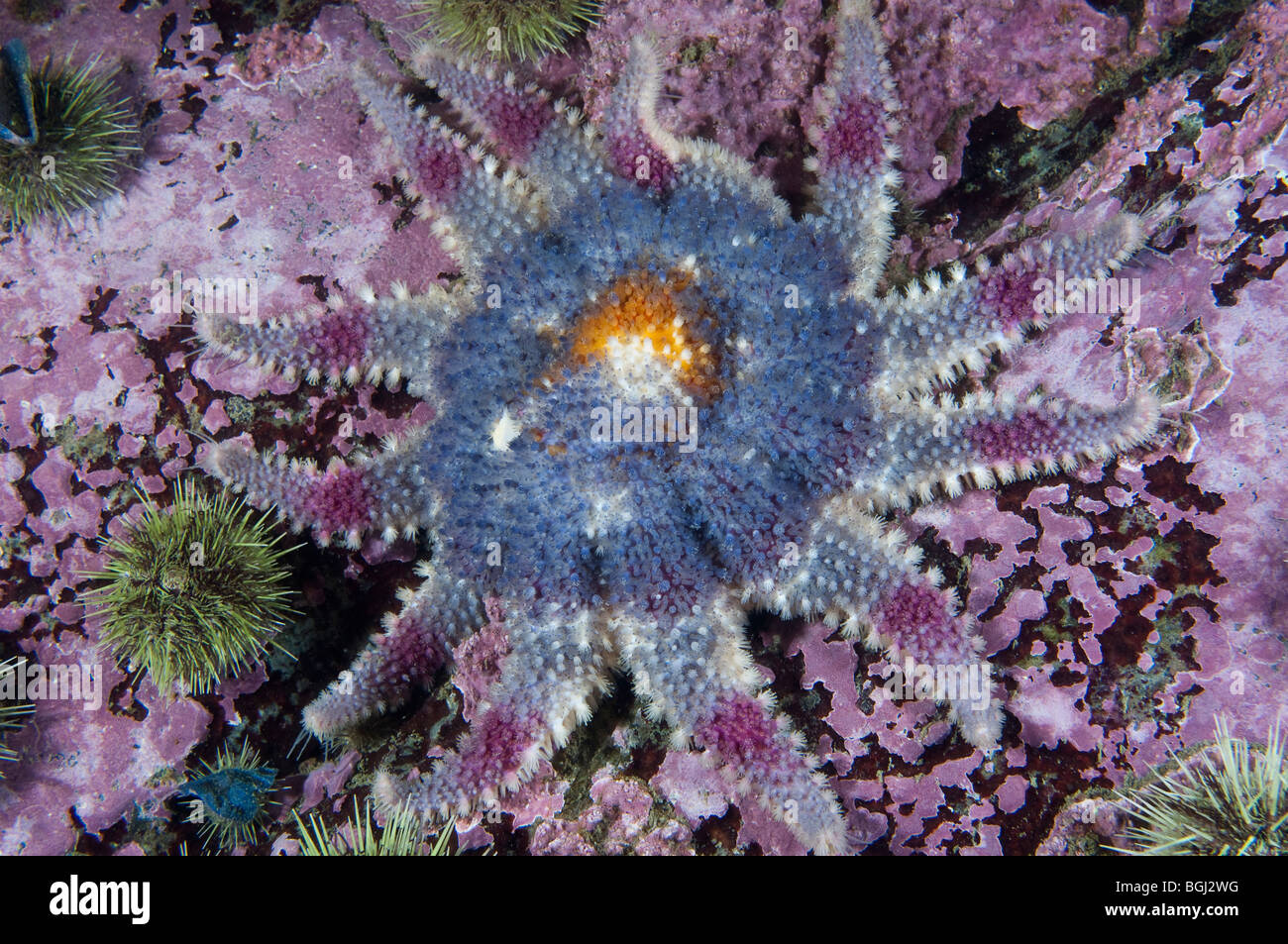 Spiny Sunstar underwater in the St. Lawrence Estuary in Canada - Stock Image