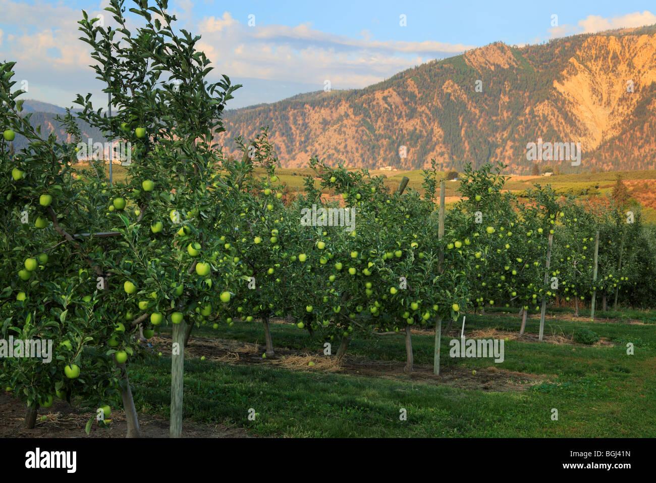 Apple orchard in Manson, Washington near Wapato Lake - Stock Image