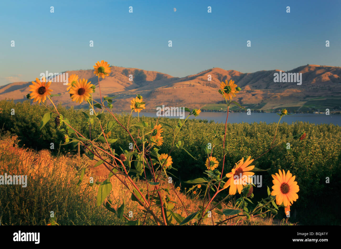 Sunflowers near Lake Chelan in eastern Washington state - Stock Image
