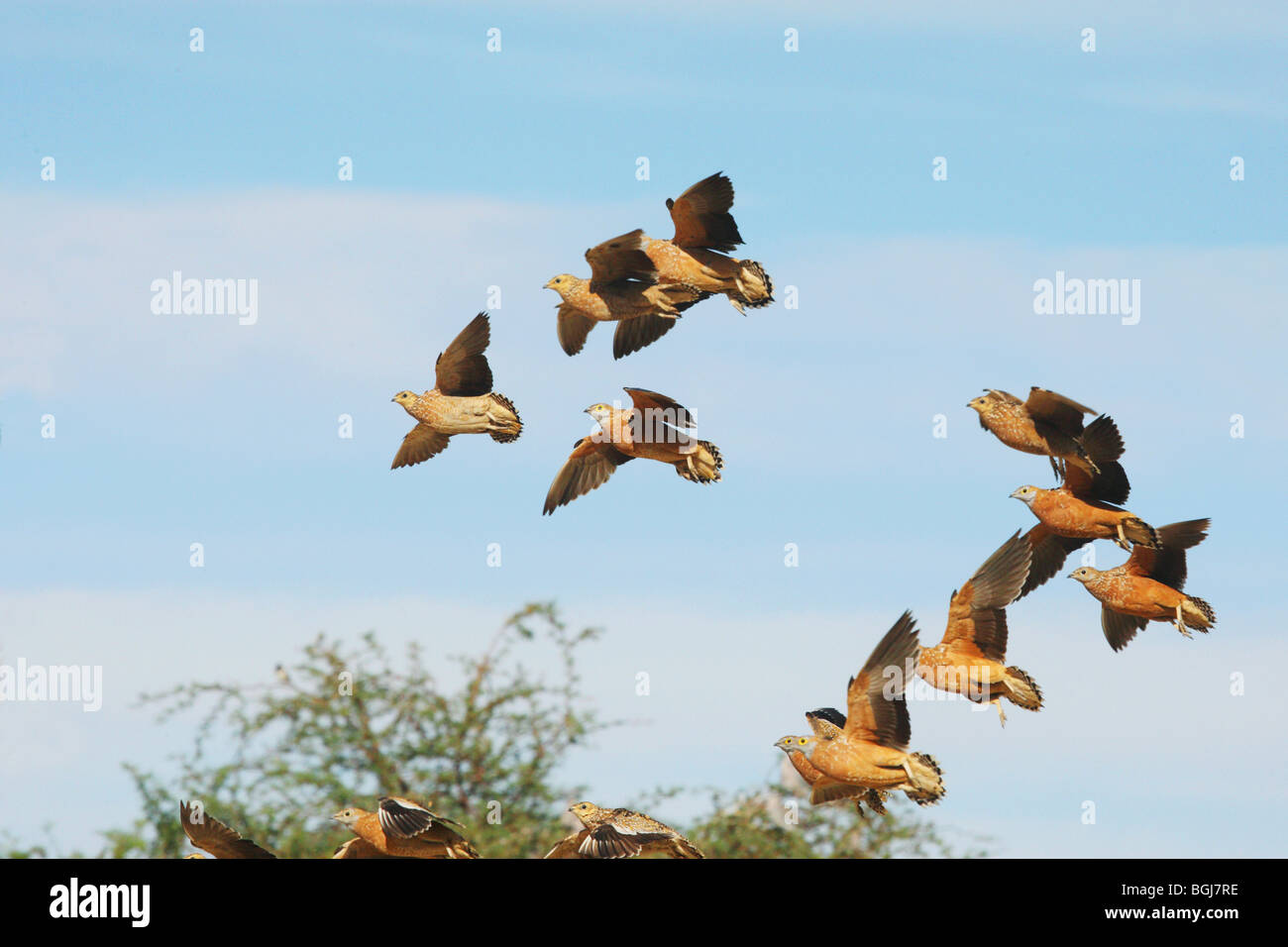 Burchell`s Sandgrouses - flying / Pterocles burchelli Stock Photo