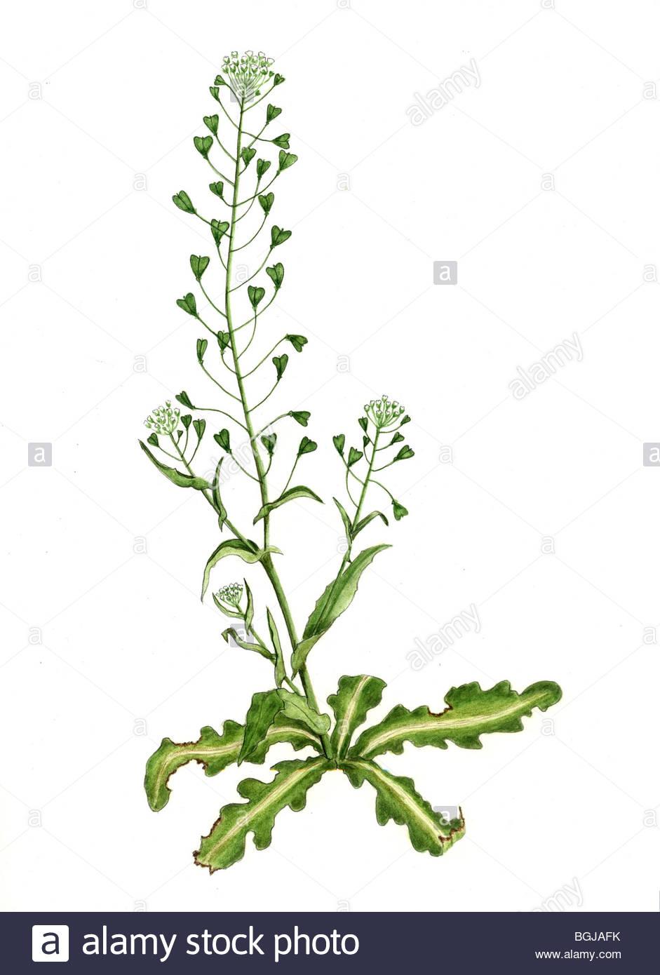 bursae pastoris herba with four blossoms Stock Photo: 27448279 - Alamy
