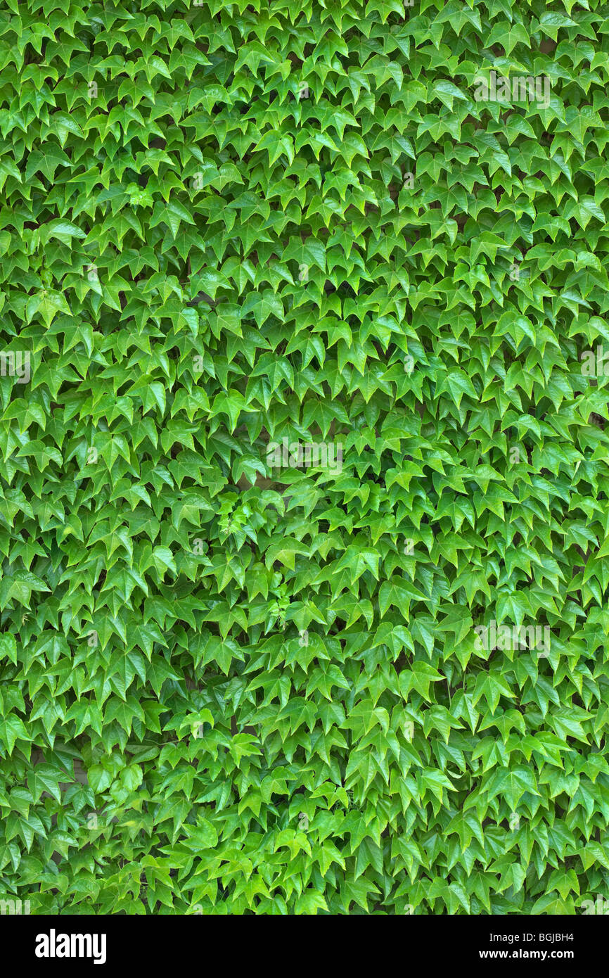 Dense ivy on wall fresh green leaves texture background - Stock Image