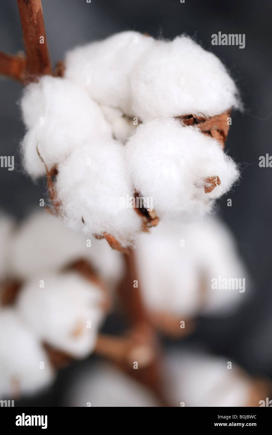 CLOSE UP OF COTTON BOLL STEMS - Stock Image