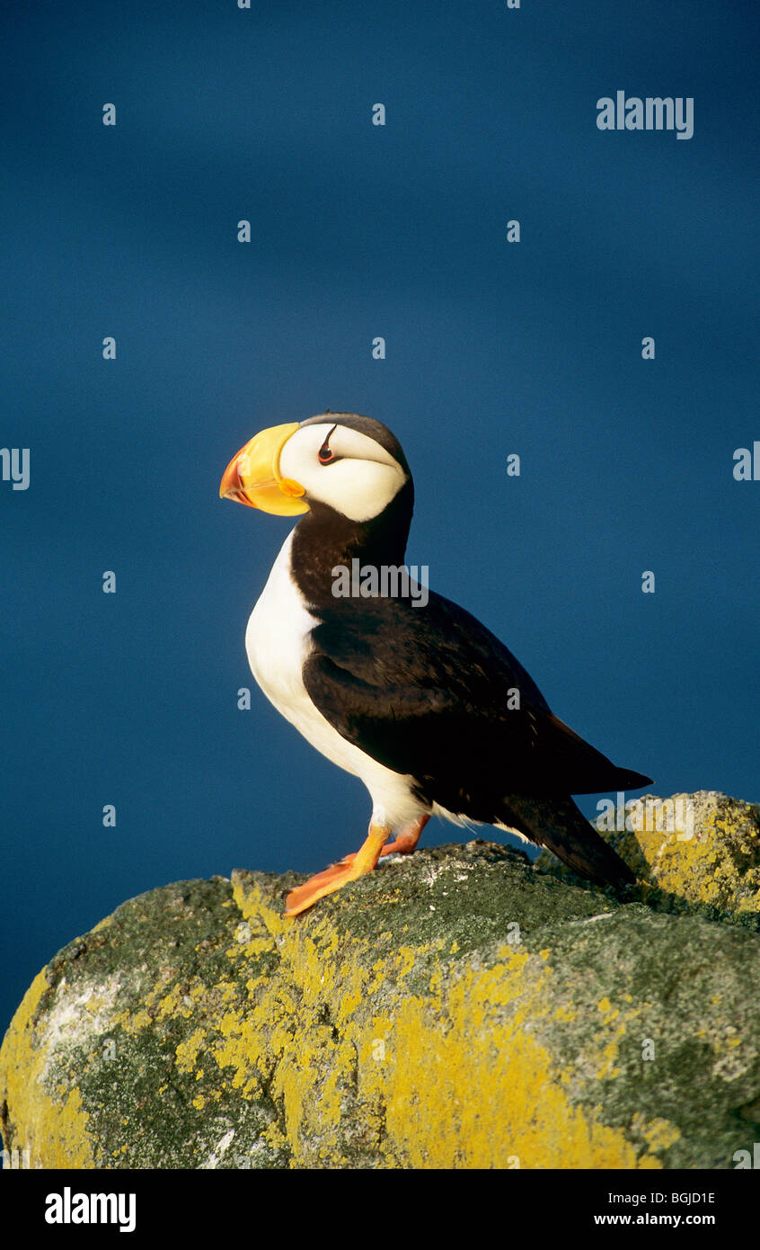 Horned Puffin - standing on a rock / Fratercula corniculata Stock Photo