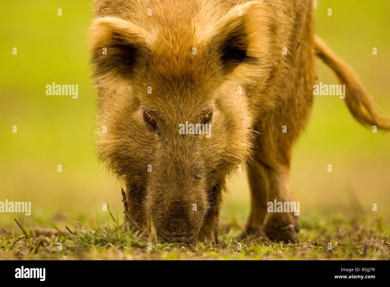 Feral Hogs on the Rio Vista Bluff Ranch, McFadden, TX - Stock Image