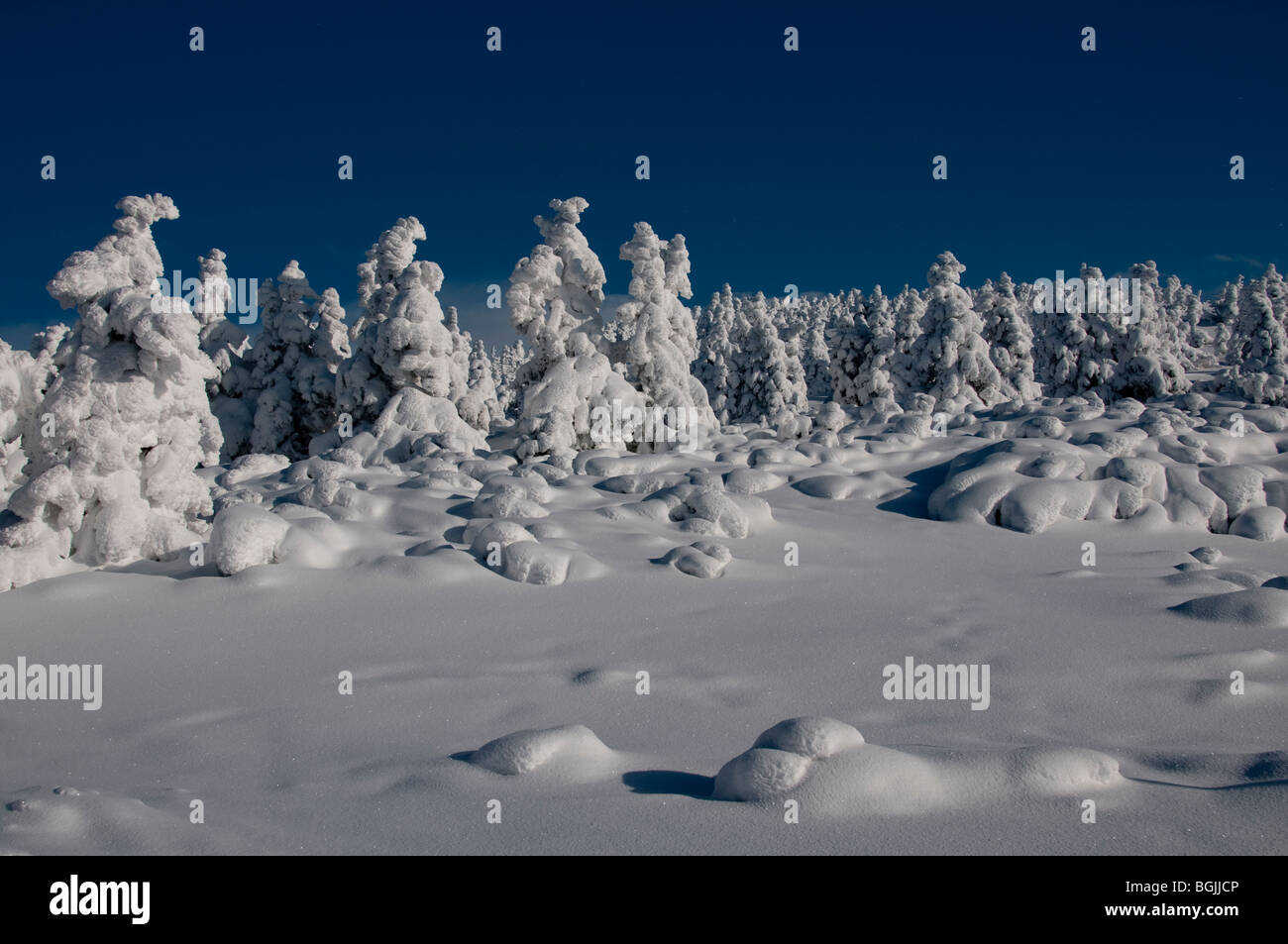 view of fir trees covered in snow at the summit of the Cerna Hora, Karkonosze, Czech Republic. - Stock Image